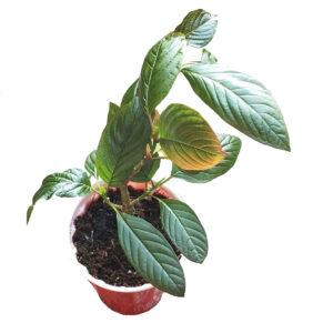 Rifat live kratom plant